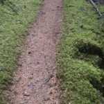 A mossy narrow path, with moss-covered stones on both sides of the trail.